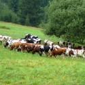 Stádo voľne pasúcich sa kráv.